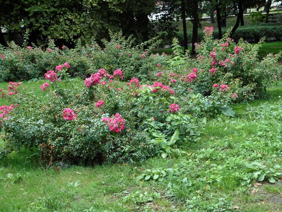 Park róż w Chorzowie