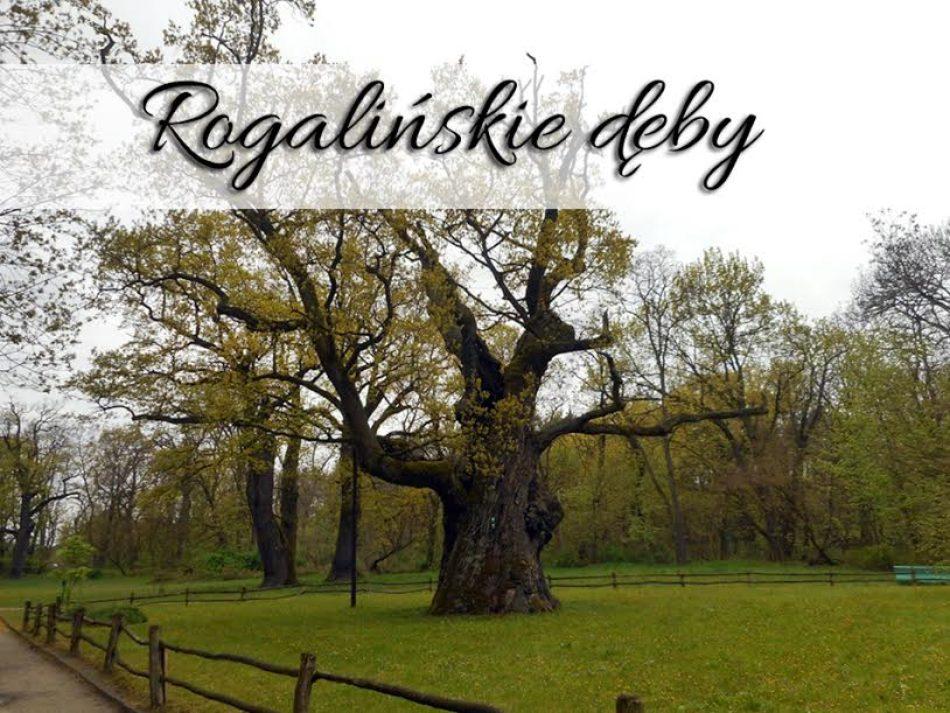 rogalinskie-deby