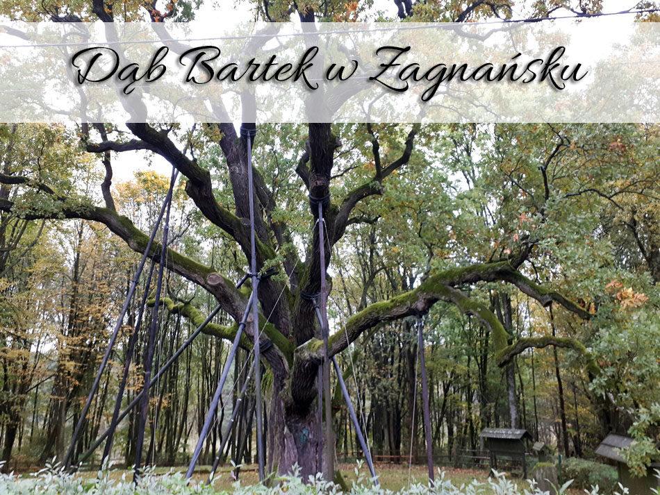 Dąb Bartek w Zagnańsku