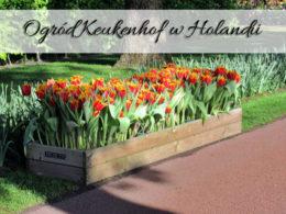 Ogród Keukenhof w Holandii. Przepiękne tulipany w wielu gatunkach