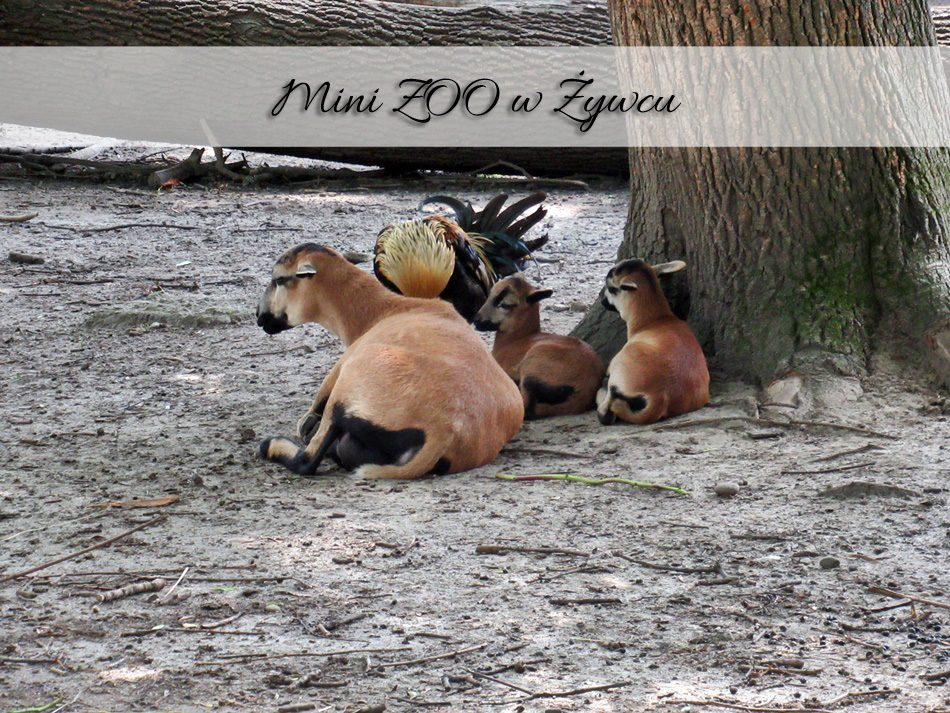 mini-zoo-w-zywcu